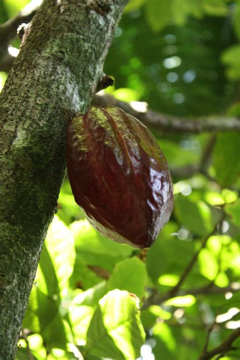 best cacao 11 best images about cacao pods on trees