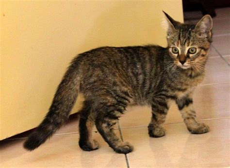 Maine Coon   Domestic Short Hair Kitten Sold   6 Years 4