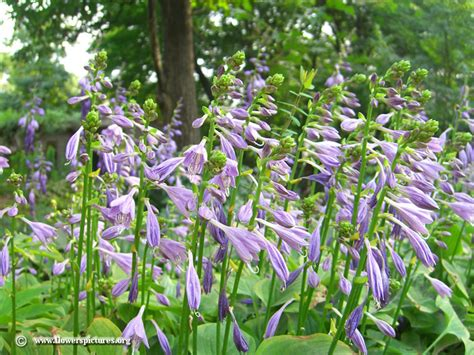hosta plants picture