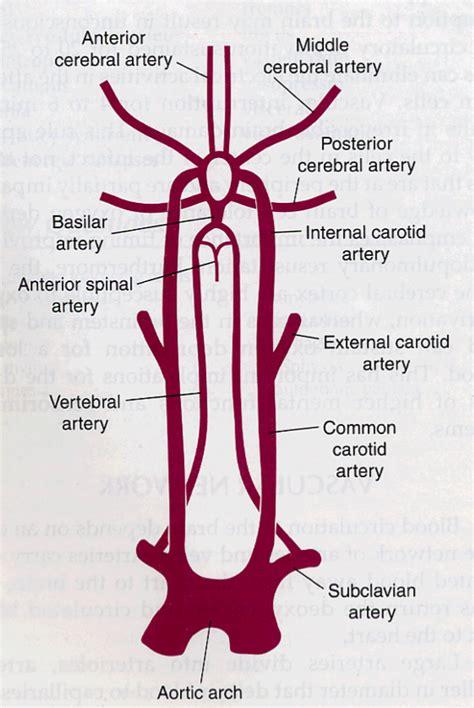carotide interna carotid artery carotid artery