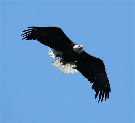 File:Bald Eagle soaring over Lake Nipissing (5924846990 ...