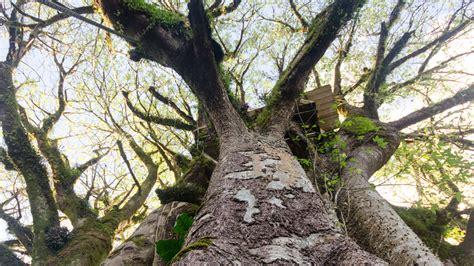 oldest ceibo tree  ecuador   tales