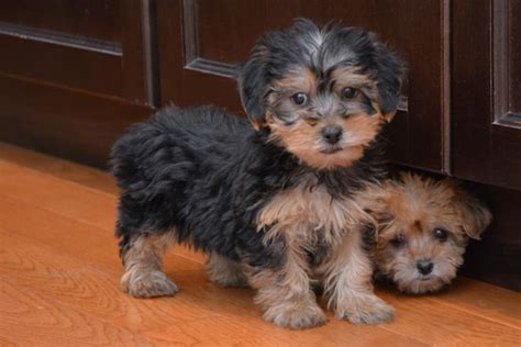 how to a yorkie poo how to yorkie poo puppies hairstylegalleries