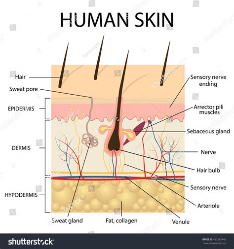 human skin hair structure anatomical sign stock vector 121646728 illustration human skin hair anatomy stock vector 451343446