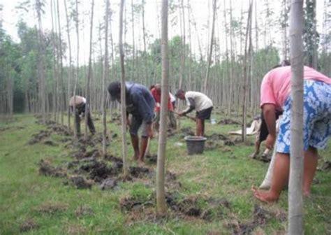 Obat Bibit Sengon cara menanam sengon yang baik dan benar bibitbunga