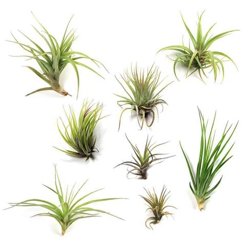 little plants ionantha fuego air plants air plant supply co