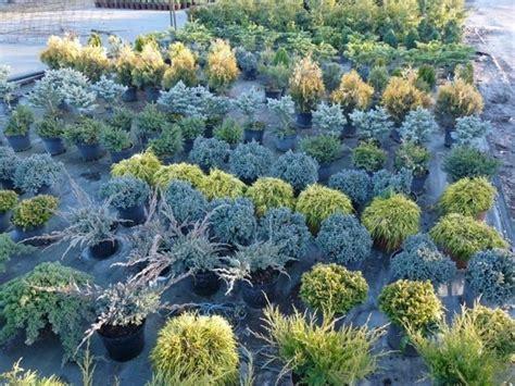 conifere nane da giardino giardini rocciosi fai da te progettazione giardini