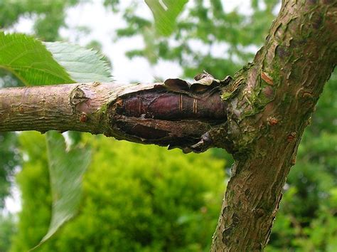 cherry tree rehab bacterial canker how to treat bacterial canker on trees
