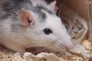 how to find buy healthy pet rats pets4homes