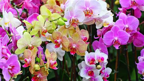 wallpaper bunga yang cantik 20 gambar foto bunga anggrek yang cantik ayeey com