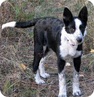 blue heeler border collie mix puppies border collie and blue heeler puppies in breeds picture