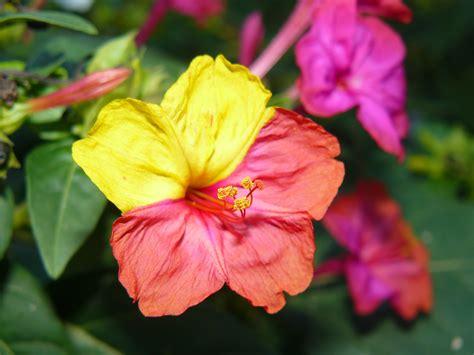 imagenes de flores que abren de noche 191 conoces la flor dondiego de noche maravillate
