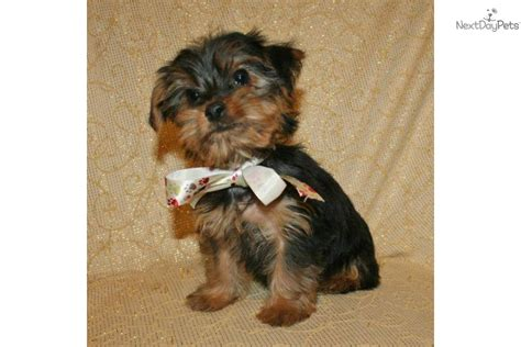 akc yorkie puppies akc terrier breeder exhibitor of terrier yorkie breeds picture