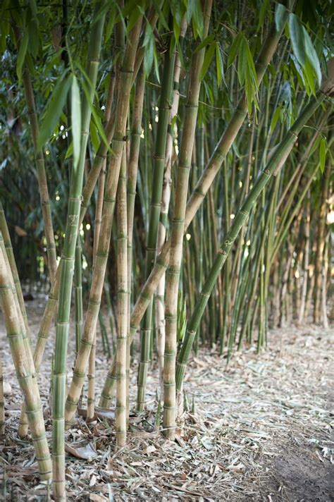 stand of ornamental bamboo 9142 stockarch free stock photos