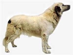 t n t australian shepherd aidi dog photo and wallpaper beautiful aidi dog pictures
