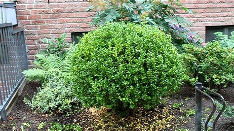 kirschlorbeer wann schneiden buchsbaum aus freier in form schneiden newwonder555