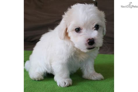maltipoo puppies for sale near me malti poo maltipoo puppy for sale near san diego california 6c9219ea d6b1