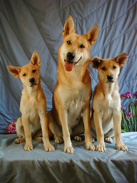 carolina puppies american dingo puppies for sale breeds picture