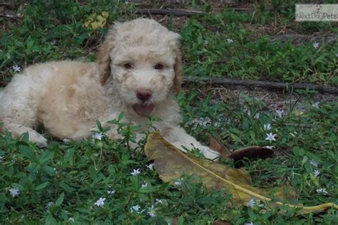 lagotto romagnolo puppies for sale lagotto romagnolo puppy for sale near west palm florida df26c53e 4601