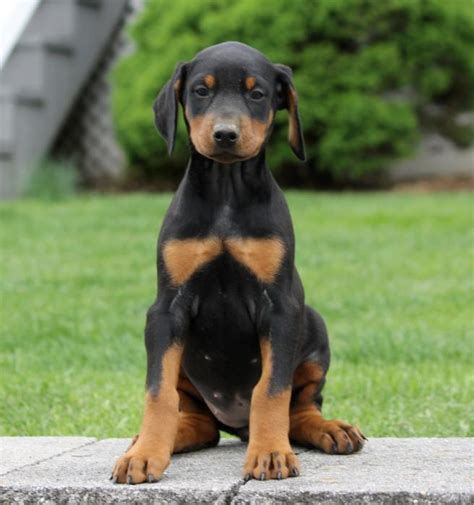 doberman puppies for sale in iowa handsome doberman pinscher pups craigspets