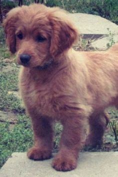 when is a golden retriever fully grown dogs on golden cocker retriever golden retrievers and border collies