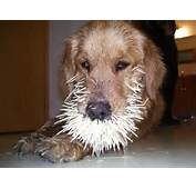 Funny/dogs With Porcupine Quills