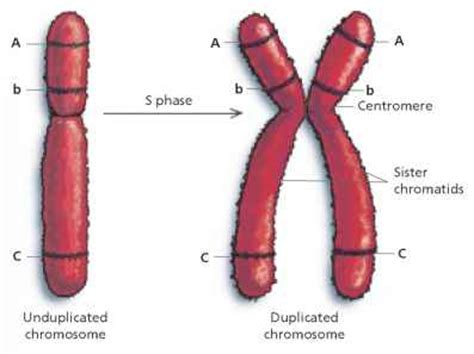each human chromosome is replicated in about sections meiosis i media activity click to cure cancer