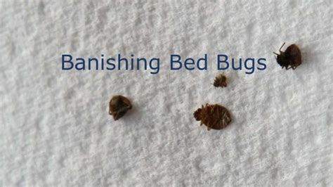 how long can bed bugs go without food how do bed bugs live 28 images how long do bed bugs