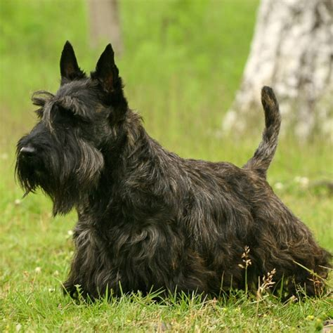 Do Scottish Terriers Shed by Scottish Terrier Puppy Scottish Terrier Breed Information