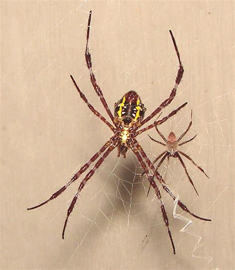 Brown Garden Spider by Hawaii Nature Journal Hawaii Nature Journal