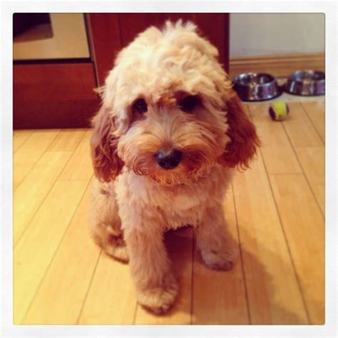 cavapoo haircut before and after after his first haircut cute cavapoo the cutest things