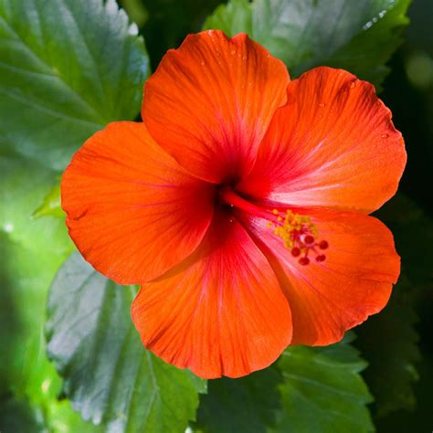 fiore ibiscus island hibiscus fragrance candlescience