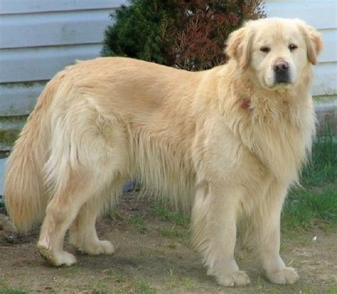 mane for golden retriever this golden retriever has a s mane i want it lil animals