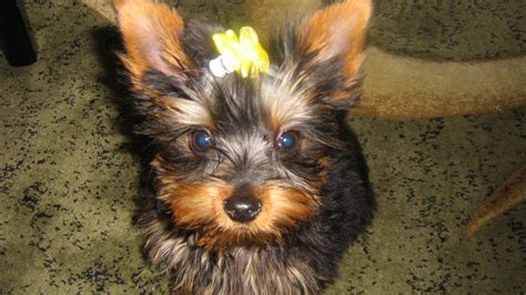 tiny yorkie for sale tiny terrier for sale nottingham nottinghamshire pets4homes