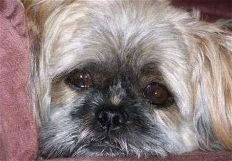 sad shih tzu puppy how to care for a rescued adopted shih tzu puppy or
