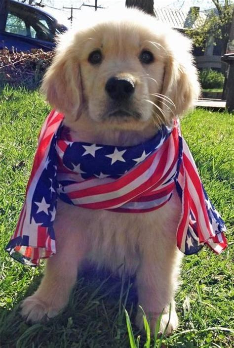patriotic puppy names 80 best images about patriotic pets on white blue american pride and pets