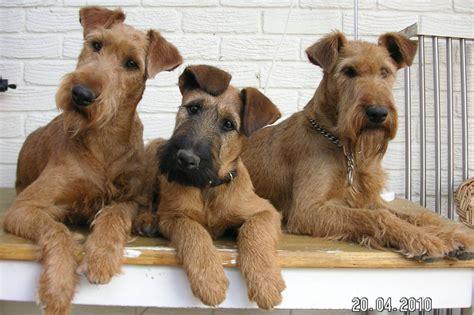 terrier puppies home www terriers info