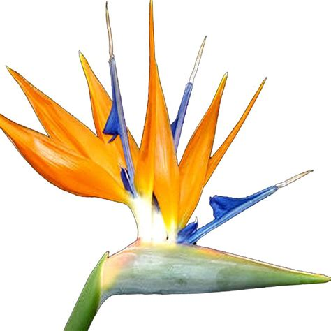 bird of paradise clip art clipart best