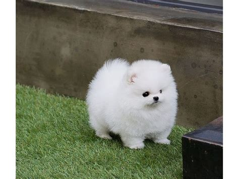 teacup pomeranian for sale chicago awesome micro tiny teacup pomeranian puppies animals chicago illinois
