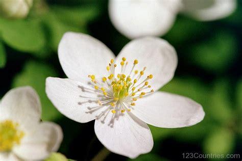 national flower of lithuania rue flower 123countries com