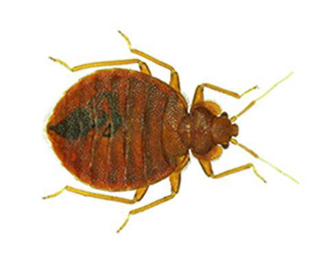 Is It Possible To Only One Bed Bug by Get Rid Of Bed Bugs Prokill Pest
