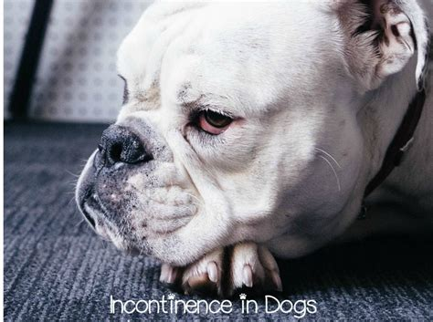 loss of bladder in dogs can you treat incontinence in dogs at home dogvills