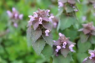 purple dead nettle chestnut school of herbal medicine