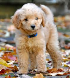 labradoodles puppies for sale perth labradoodle puppy for sale perth dogs for