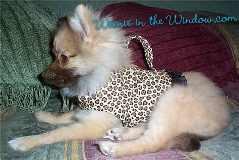 pomeranian puppy harness small harness testimonials dachshund pictures from witw customers