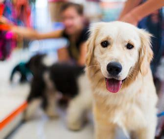 golden retriever pet store your etiquette guide visiting the pet store