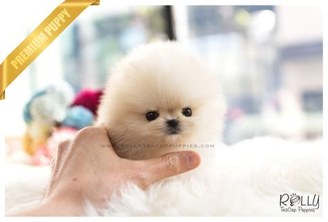 pomeranian boo breed sold to kurt boo pomeranian f rolly teacup puppies