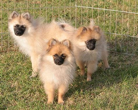 Ckc Registered Pomeranian Puppies For Sale Adoption From Neebing Ontario Thunder Bay