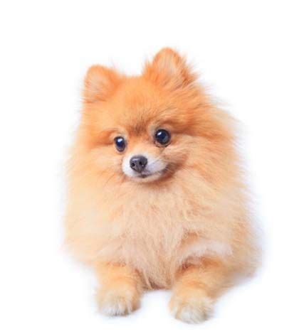 what were pomeranians bred for 367 best images about pommy on chihuahuas toys and biscuits