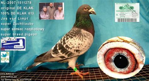 purebred stichelbaut by kulbackiprzyjmuje zamwienia na 2012 2013r kulbacki international chion kipa be